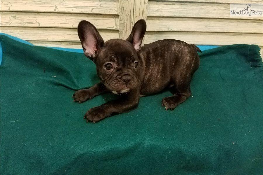 French Bulldog Puppy For Sale Near Houston Texas 20477a2c 44e1