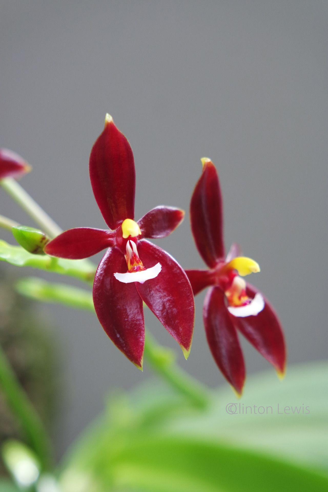 Phalaenopsis cornu-cervi f. chattaladae (India east and southeast through Asia and Malaysia)