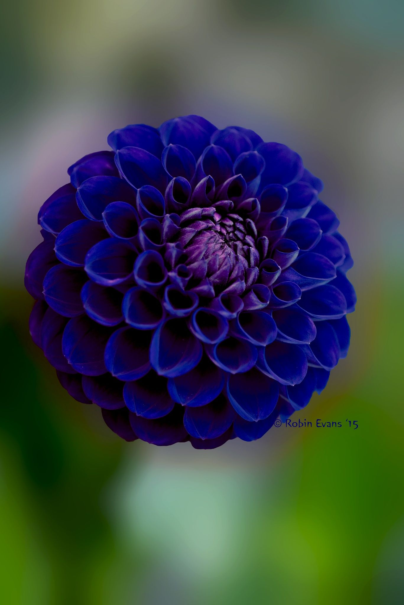 Crystal Blue Persuasion Royal Blue Pompon Dahlia By Robin Evans