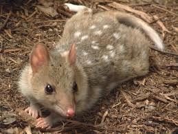 El Kowari es un carnívoro que vive en madrigueras. Mata presas grandes como lagartijas, pájaros y roedores, sujetándolas con sus garras. http://www.emigraraaustraliaya.com/