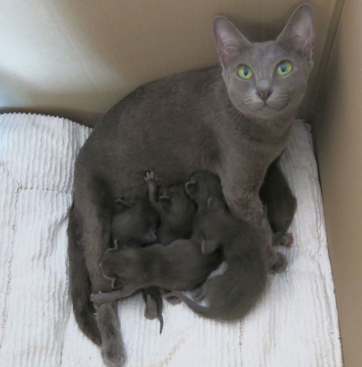 Korats Originate From Thailand And Are A Very Engaging And Human Oriented Breed Grey Cats Beautiful Cats Pedigree Cats