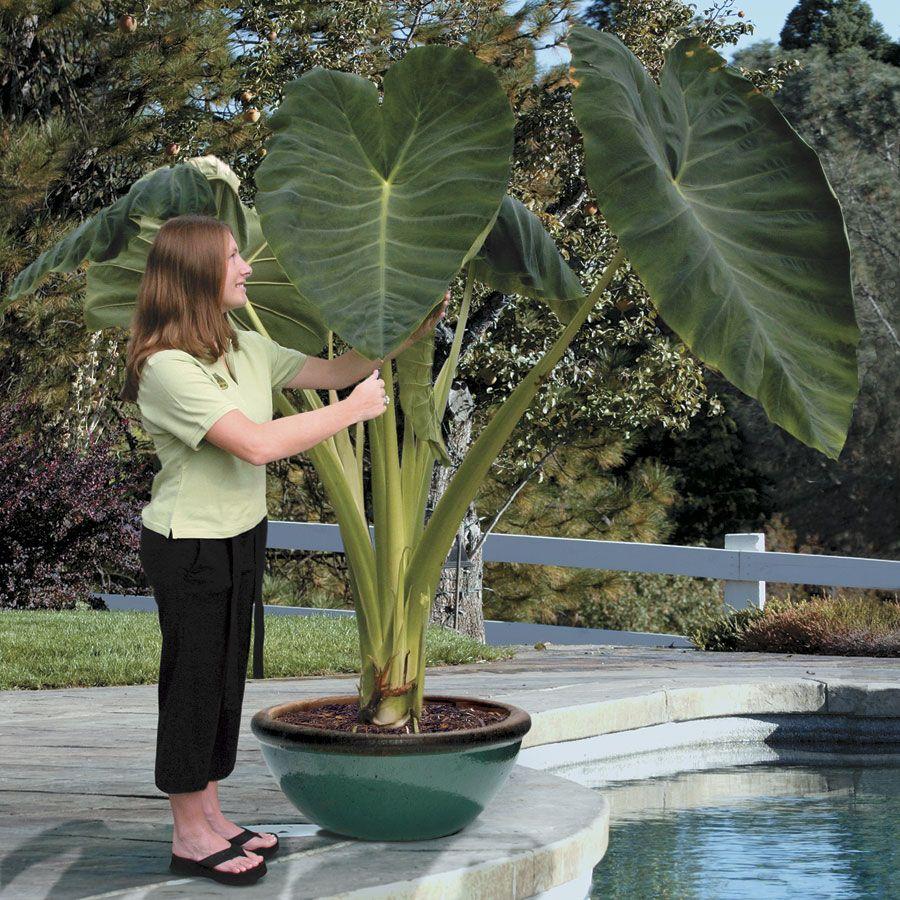 Colocasia jacks giant elephant ear plant plants