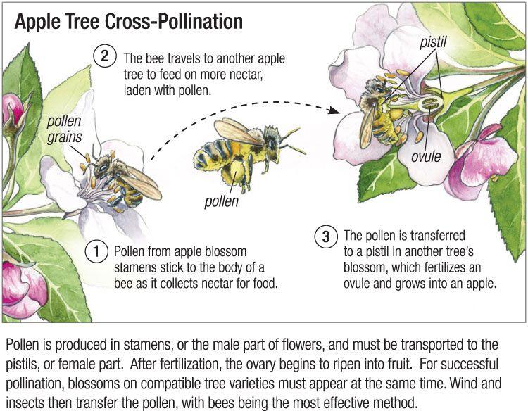 Arizona Cypress Blackberry Tree Crabapple Tree Pollination