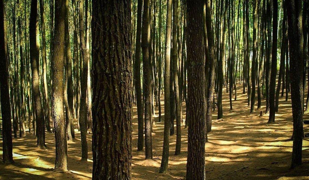 21 Pemandangan Indah Hutan Pinus Promo 89 Off Pemandangan Hutan Pinus Kebun Sayuran Dingin Download Info Lengkap Karacak Va Di 2020 Pemandangan Kebun Sayur Kebun