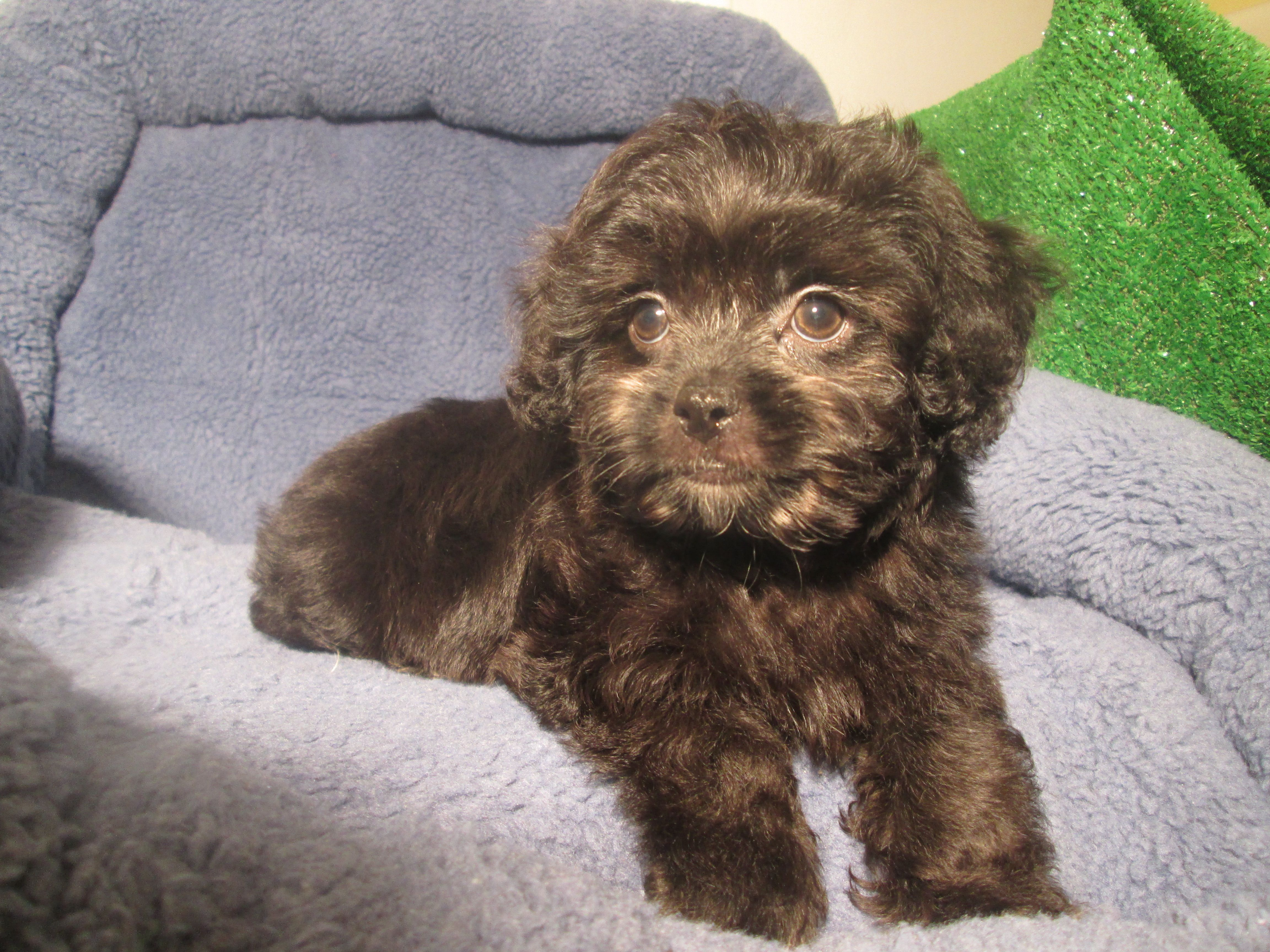 Loving Lhasapoo Puppies Available! (Lhasa Apso x Poodle