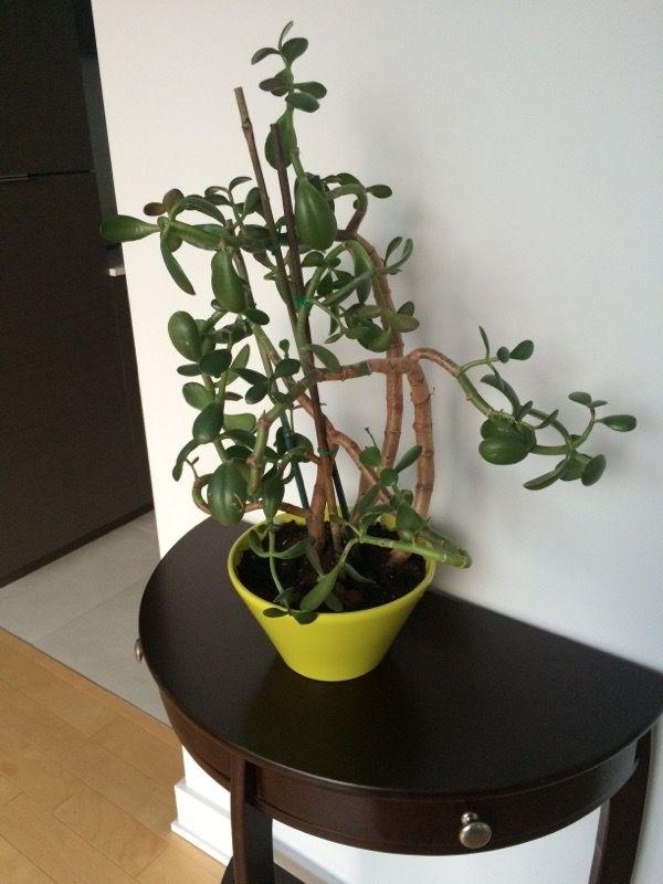 Free Plant Identification Dollar plant, Jade plants