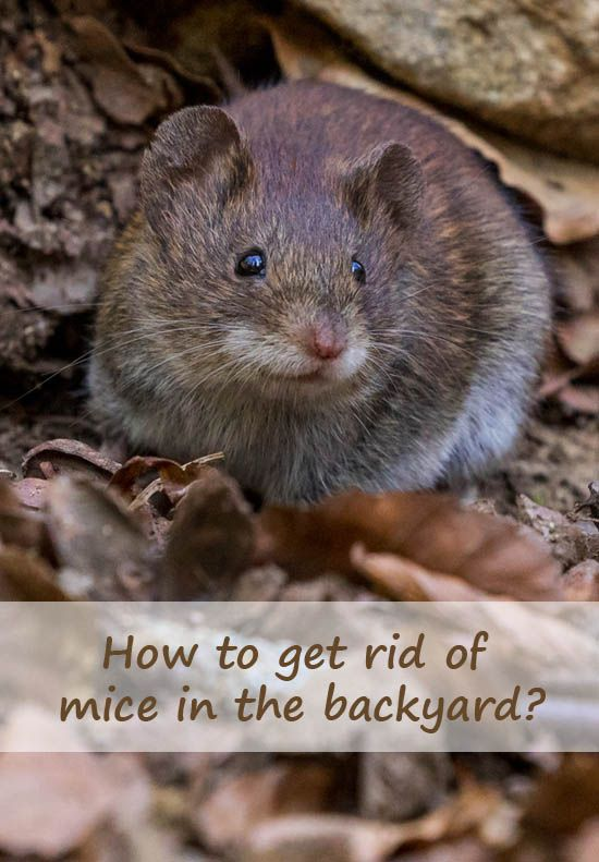 How to get rid of mice in the backyard? in 2020   Getting ...