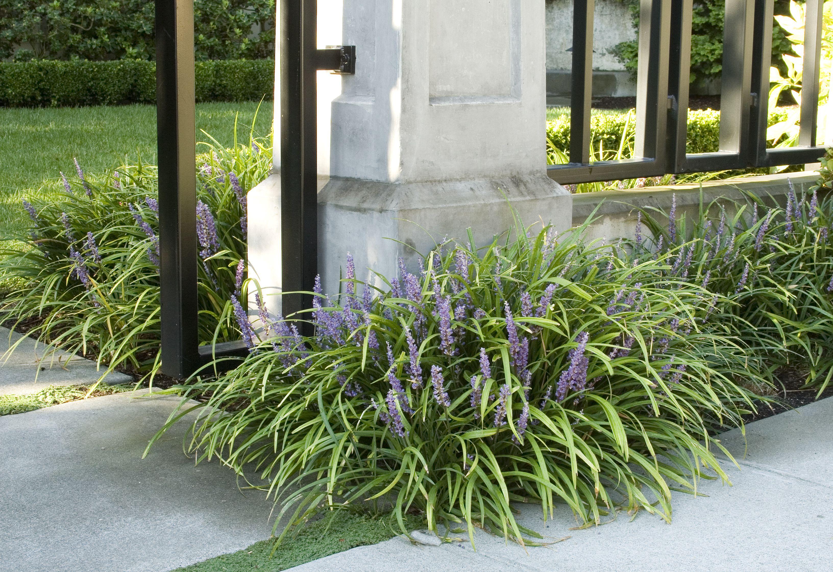 Creeping Lilyturf Monrovia Creeping Lily Turf Is A Grass Like