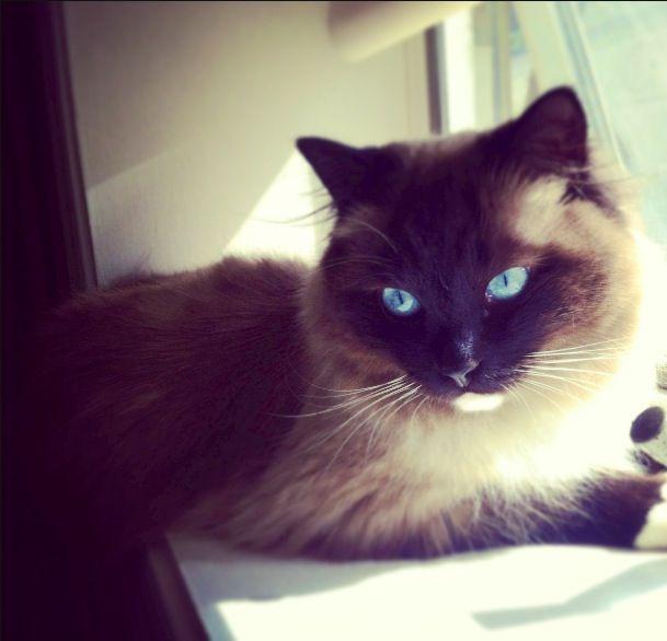 Ragdoll Cat :)