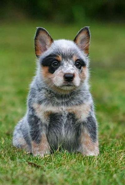Blue Heeler Puppy Animal Dog And Pup