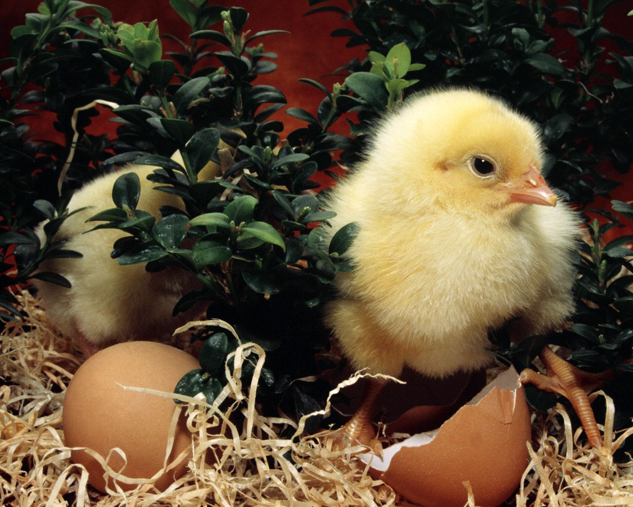 chick.