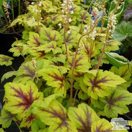 Perennials sale at Jacksons Nurseries