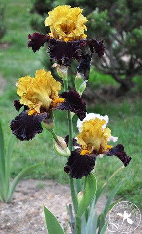 TB Iris 'Tropical Garden' (Mego by Filardi, 2009)