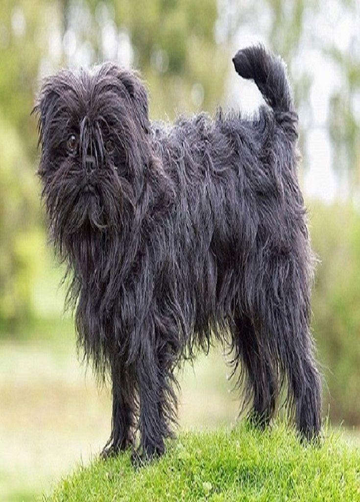 Black Affenpinscher Dogs Body Pics Affenpinscher Dog Pet Breeds Cute Dogs Images