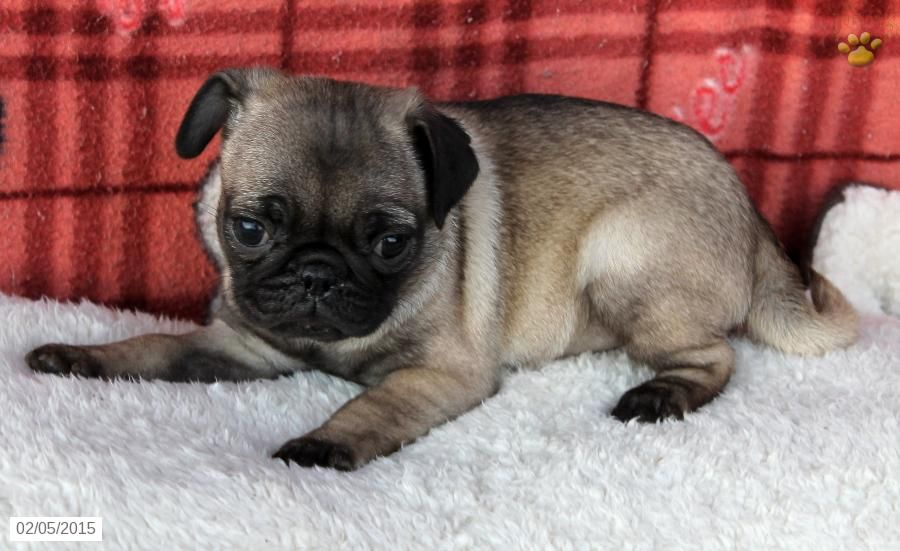 Pug Puppy For Sale In Pennsylvania Puppies For Sale Pug Puppies