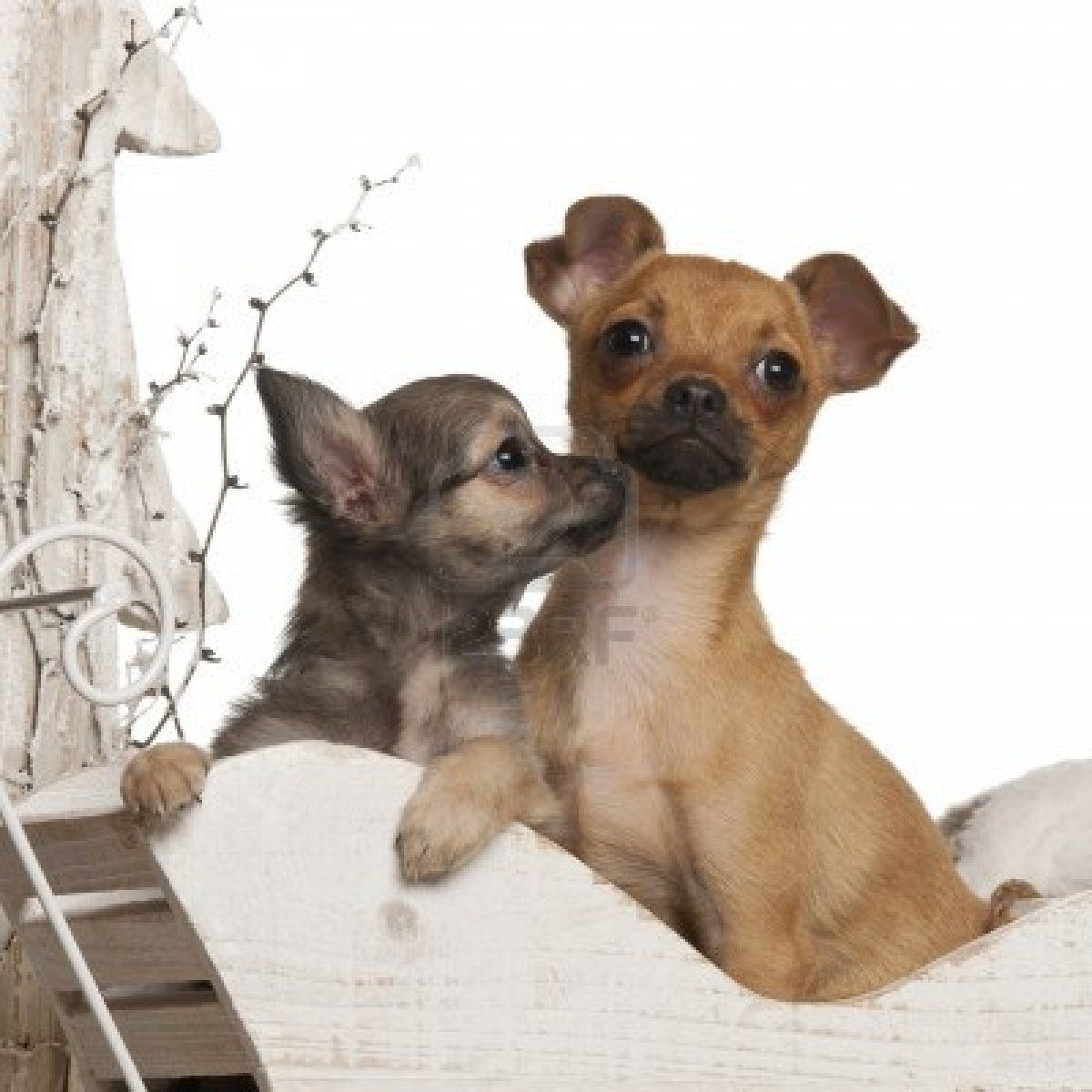 Stock Photo Chihuahua puppies, Teacup chihuahua puppies