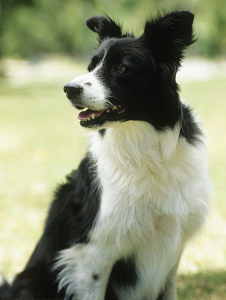 Related image Collie puppies, Border collie puppy training