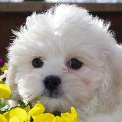 Peke A Poo Boy Born 2 3 13 Small Dog Photos Pet Pads Animals