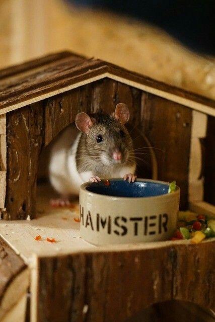 Rat Rats Ratsofinstagram Ratsagram Ratsofig Ratte Ratten