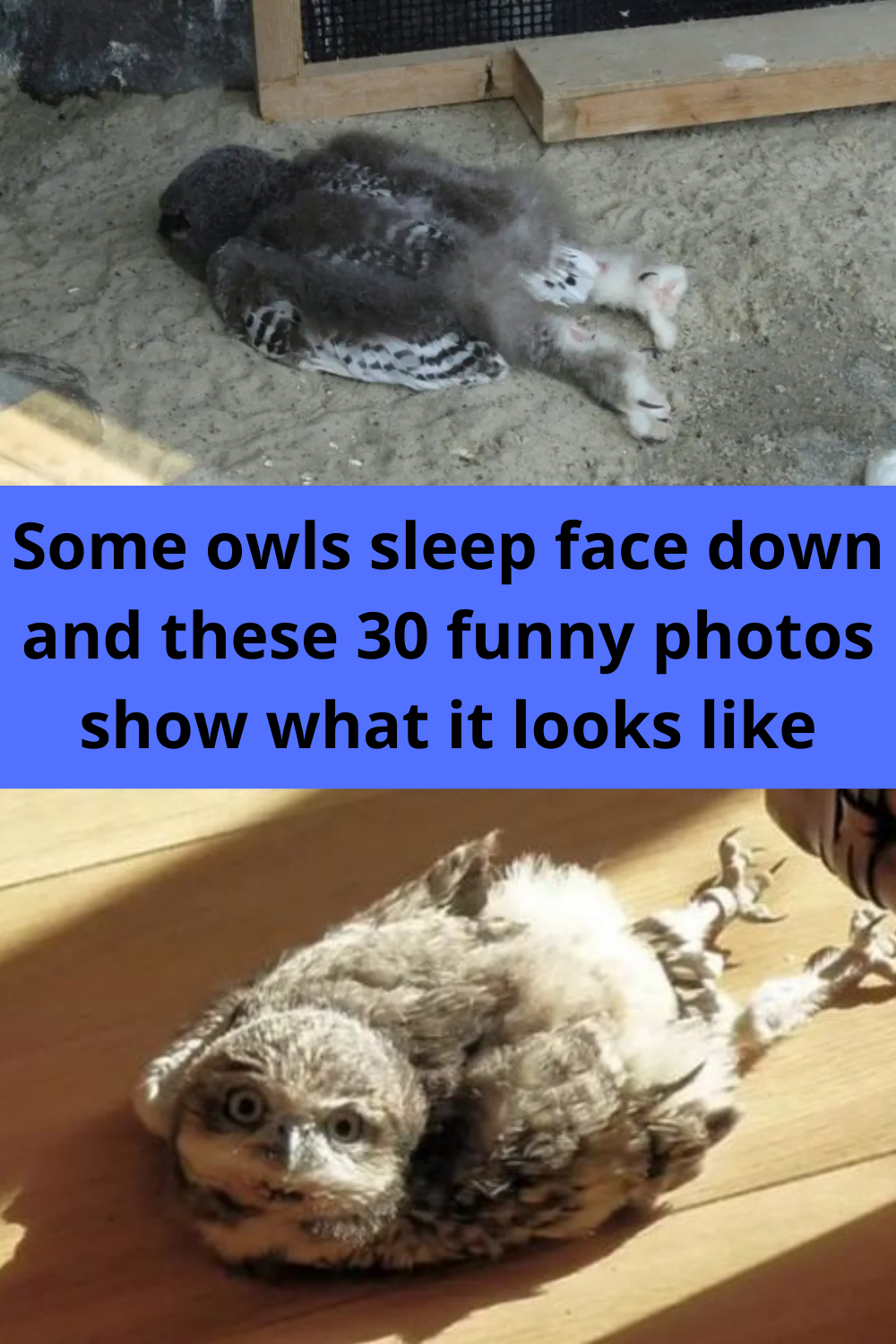 Some owls sleep face down and these 30 funny photo