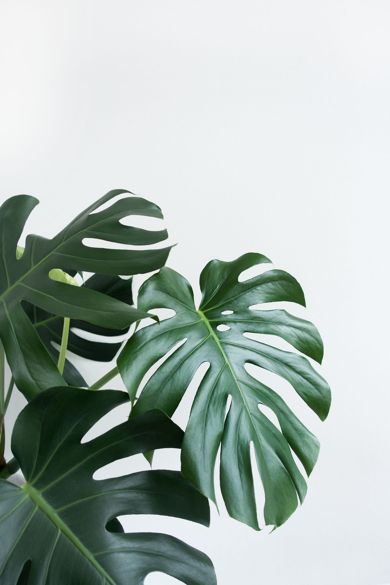 Monstera Deliciosa Leaf Check Out My Other Boards For More Wallpapers Plant Wallpaper Plant Aesthetic Plants