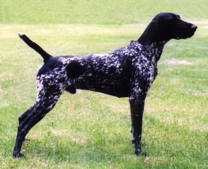 Black German Shorthaired Pointer Puppy