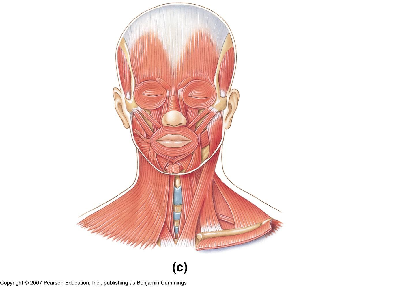 Muscles Of The Face Neck Unlabeled Study Resources Ear