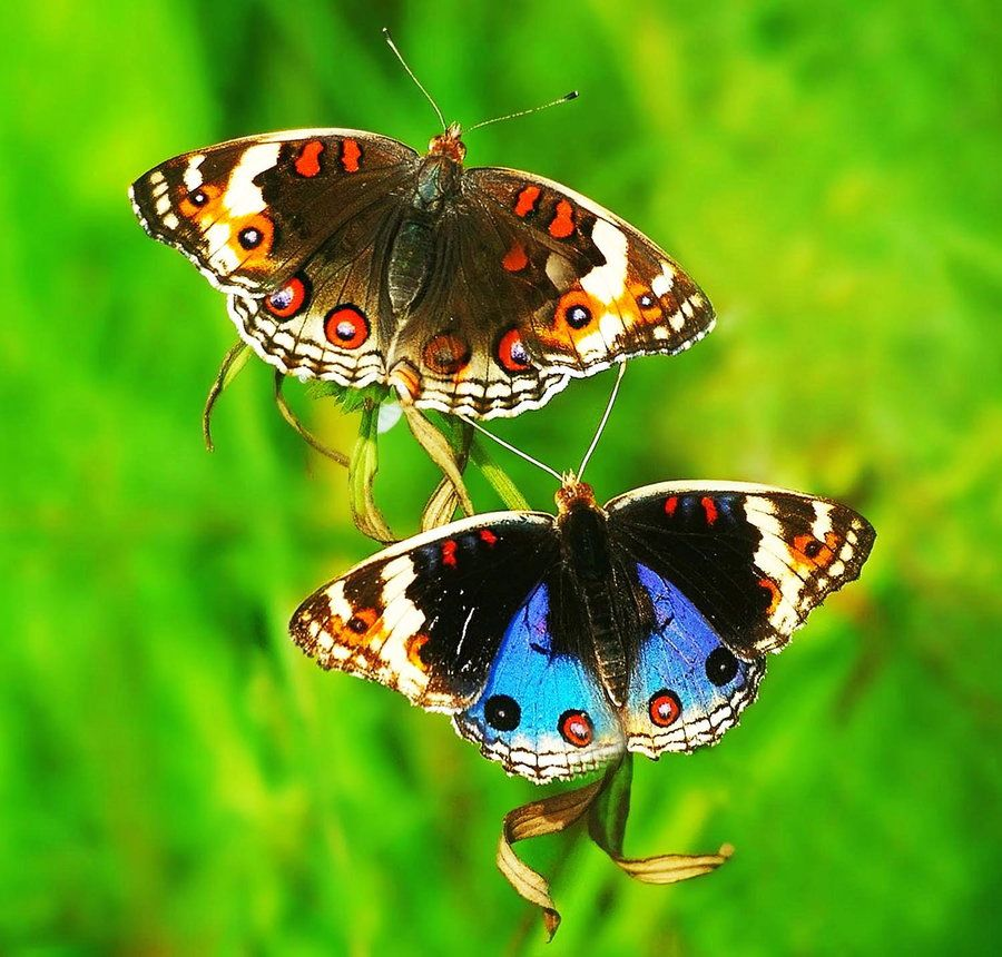 Blue Pansy (junonia orithya) male and female