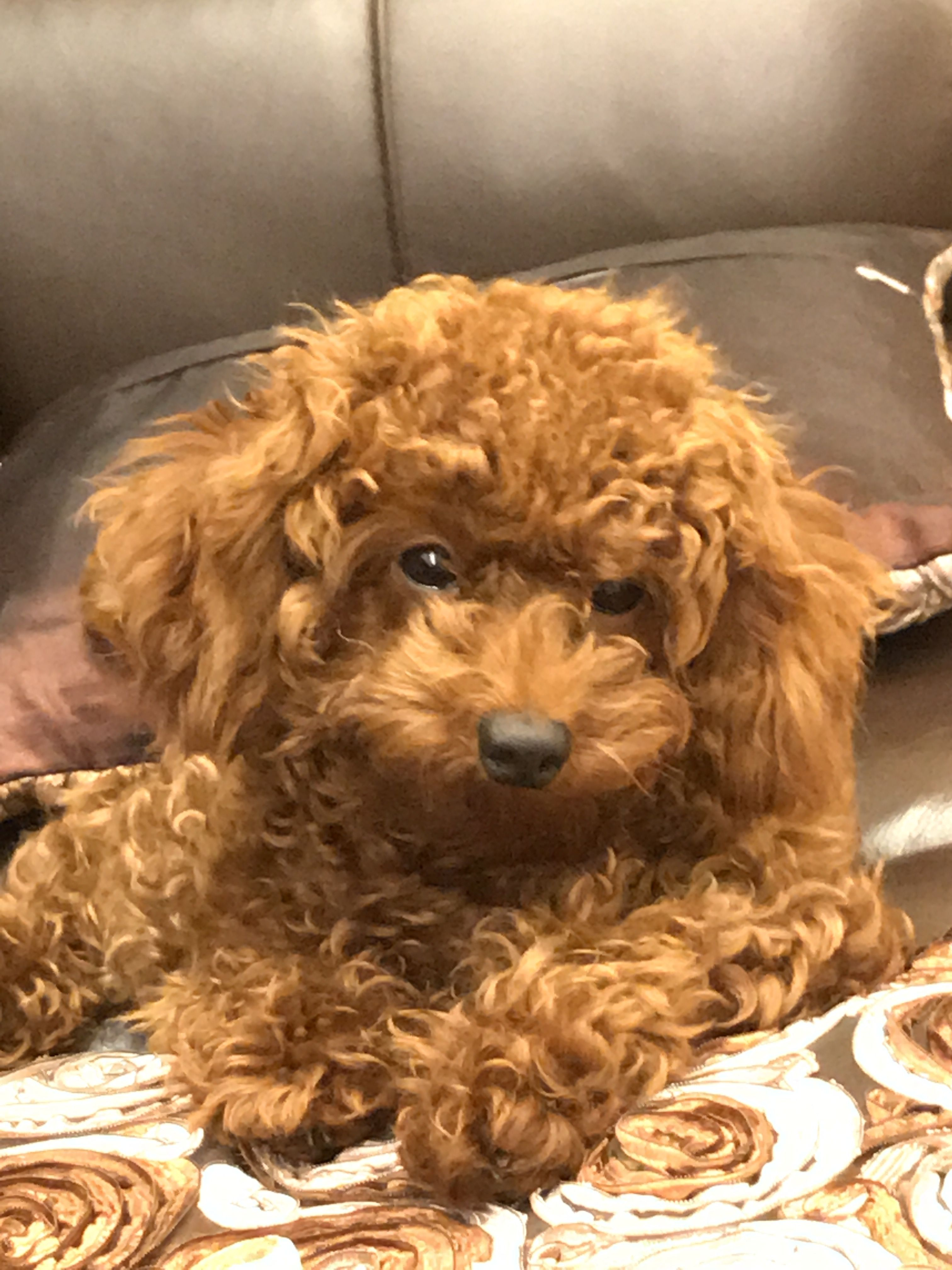Pin by Fine Jewelry Design on My Japanese GMO mini poodle