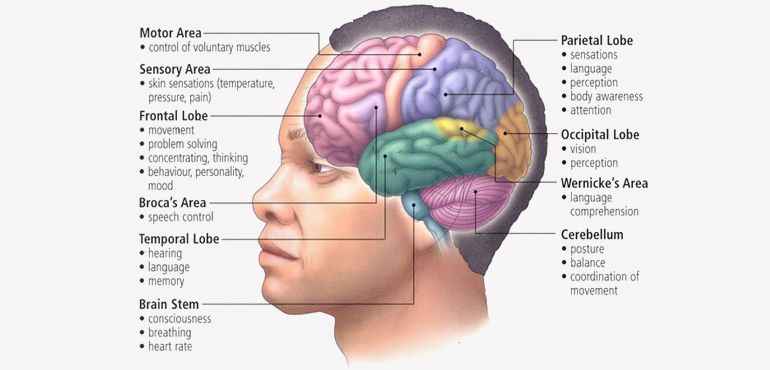 lower brain diagram 72 chevy truck ignition switch wiring the human is in some ways unable to match functioning of animals other words its capabilities are quite unrivaled
