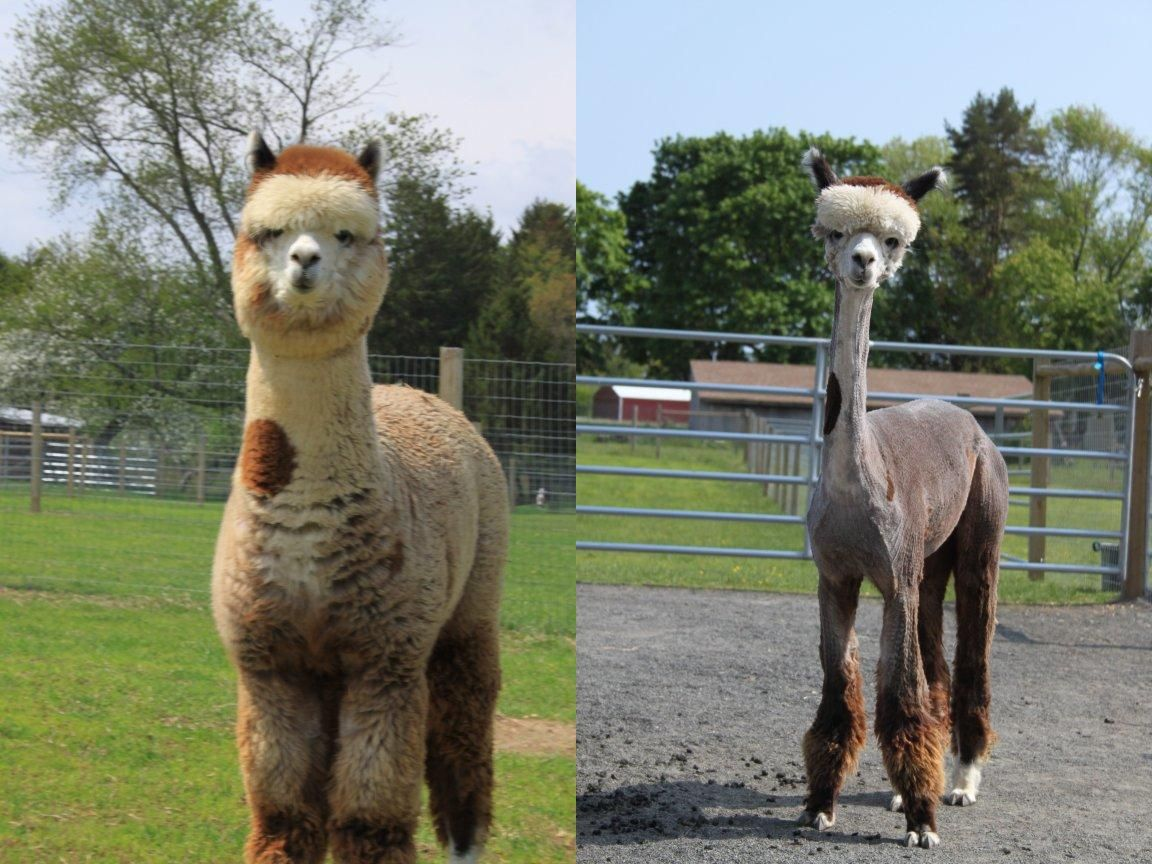 An Alpaca Before And After Shearing I Dont Know Whether To Laugh - 22 hilarious alpaca hairstyles