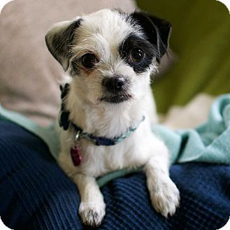 New York, NY - Terrier (Unknown Type, Small) Mix. Meet Heidi!, a dog for adoption. http://www.adoptapet.com/pet/13426898-new-york-new-york-terrier-unknown-type-small-mix