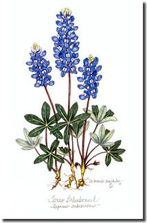 Colored Pencil drawings, Paintings, Blue-eyed Grass,Colored Pencil DRAWINGS,BLUE-EYED GRASS DRAWING, Blue-eyed Grass painting,PAINTING