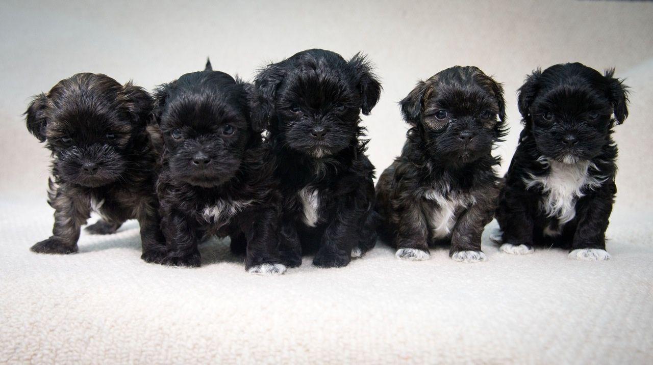 Lhasa Poo Lhasa Apso Poodle Mix Info Temperament Puppies