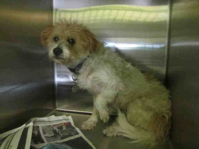 I am a neutered male, white and tan Terrier. The shelter