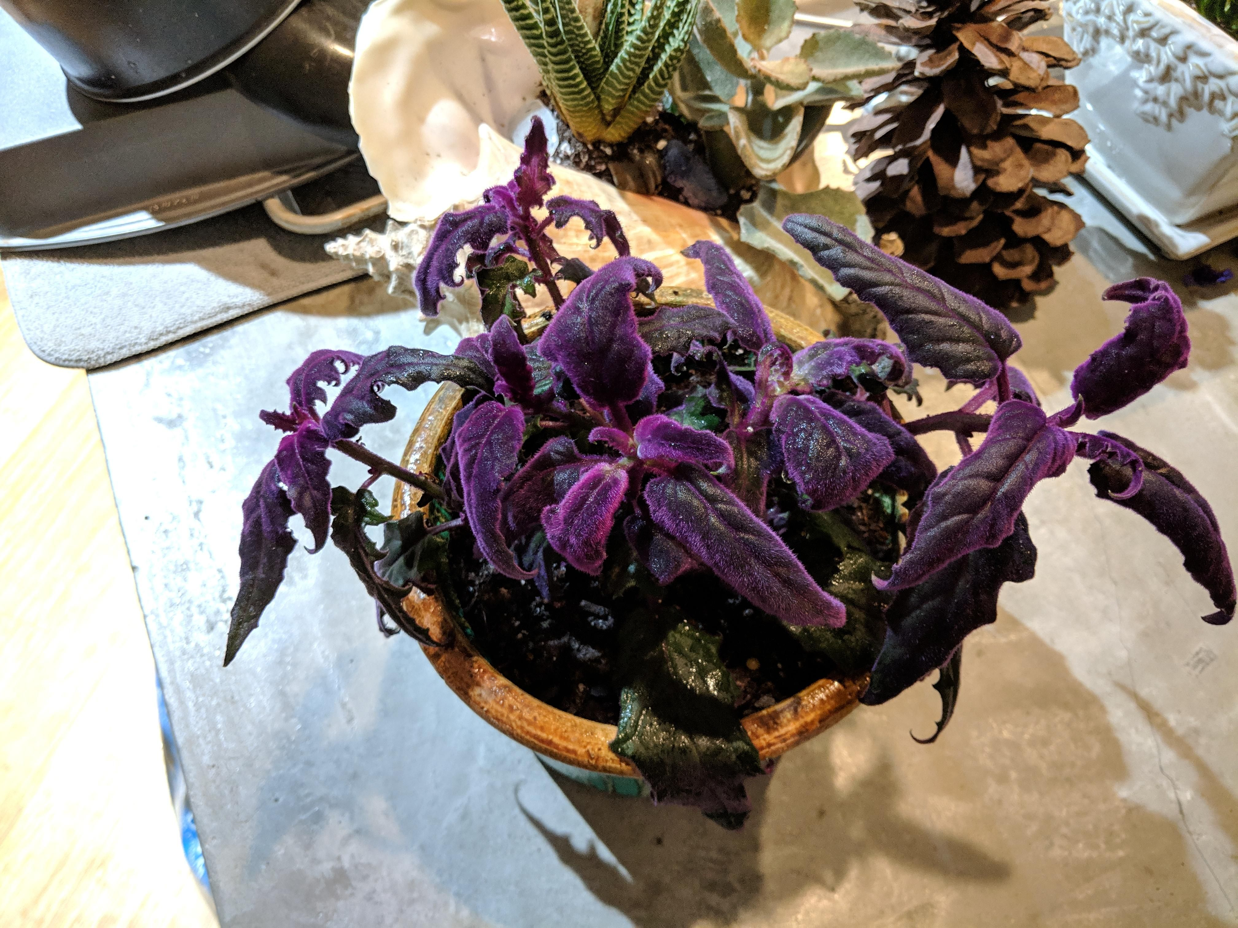 Another new plant. This ones called Purple Passion. Its