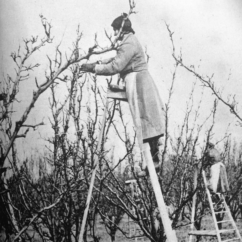 Woman pruning #pears at East Maling Research Centre, #Kent c.1940  #fruit #foodie #gyo #permaculture #gardening