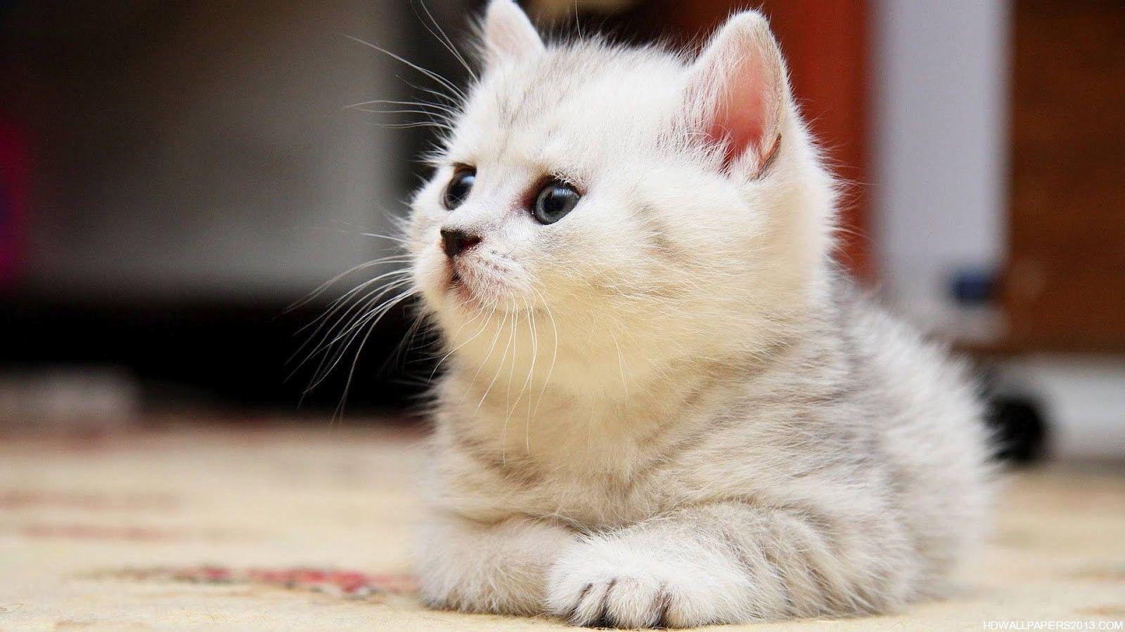 Cute Persian Cat 3d Wallpapers Wallpapersak Kitten Wallpaper Cute Baby Cats Cat Pics