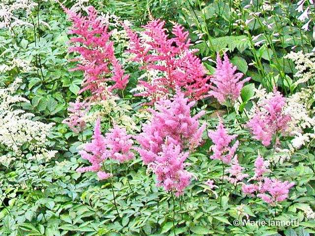 Perennial Flowers That Don T Need Deadheading Flowers Perennials Plants Perennials