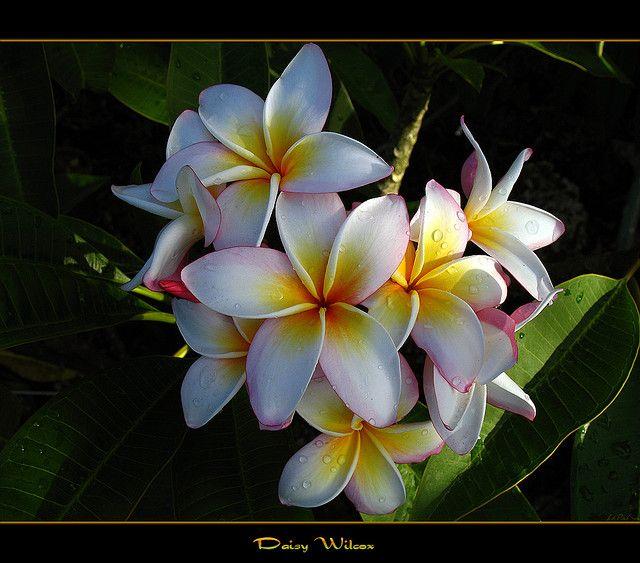 The Plumeria Daisy Wilcox by mad plumerian, via Flickr