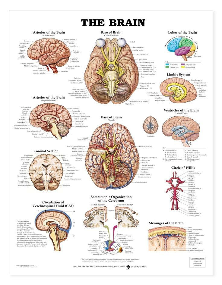 The brain anatomy chart shows the cerebral hemispheres, lobes of the ...