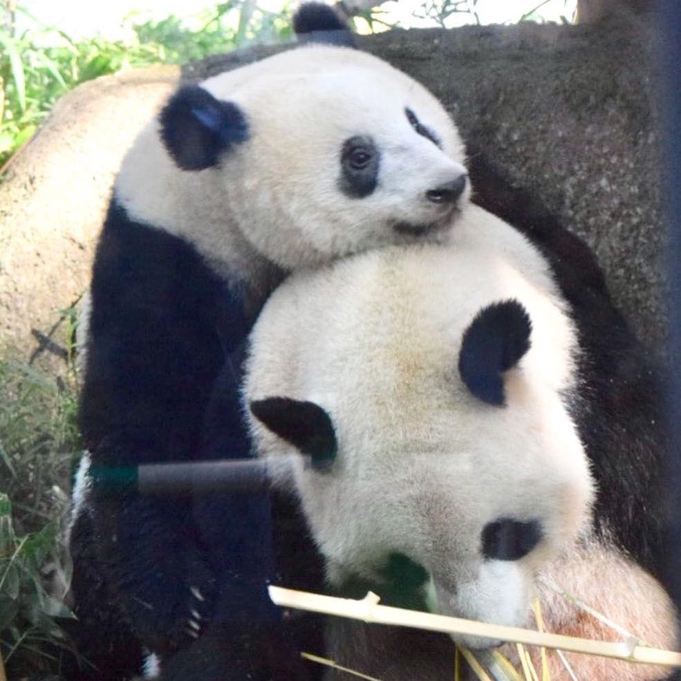 シンシン #シャンシャン かあしゃん!かあしゃん!🐼💕   上野動物園 ...
