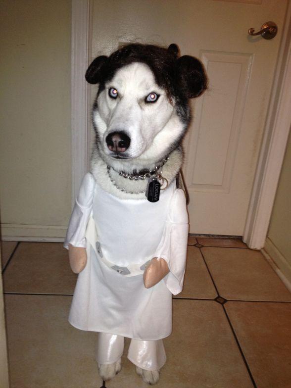 Halloween Costumes For Siberian Husky Google Search Husky