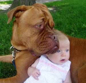 Dogue De Bordeaux Dog Named Barclay Puppylove Dogs Bordeaux Dog
