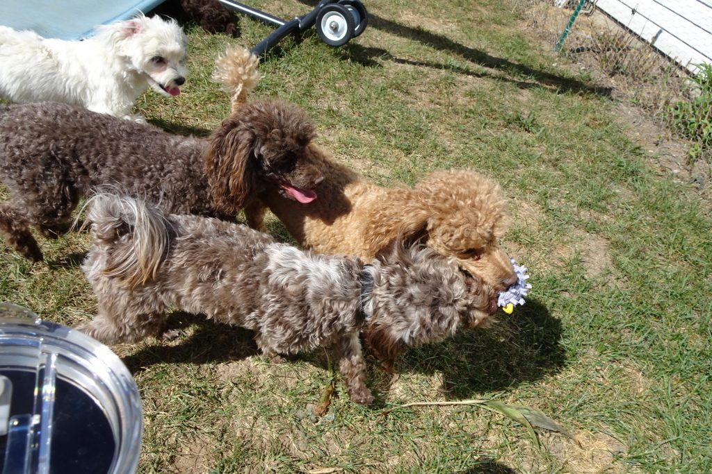 Animals And Pets B Dogs And Puppies B Havanese Havapoo And