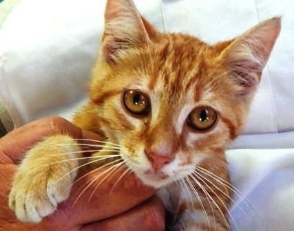 Panda Is An Adoptable Domestic Short Hair Orange And White Bengal Cat In Princeton In This Is Approximately 4 Month Old Panda Panda Bengal Cat Kitten Cats