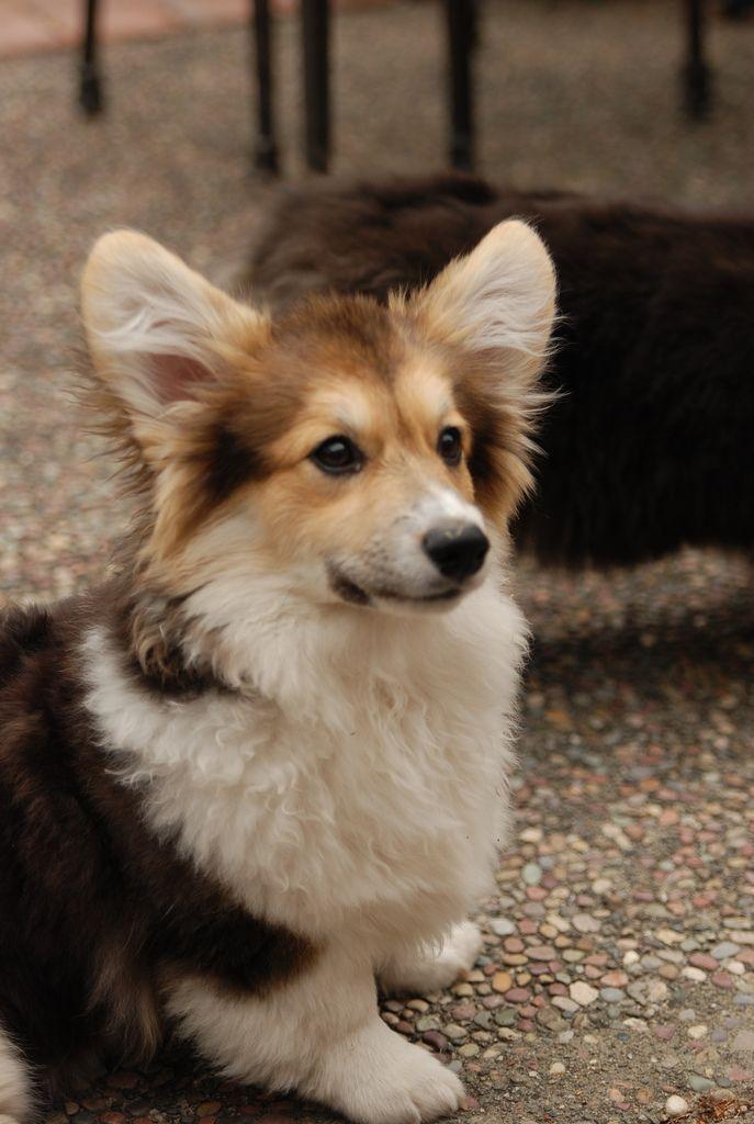 Pin By Tracy ॐ Chou On Adorable Baby Animals Fluffy Corgi Cute Corgi Corgi Dog