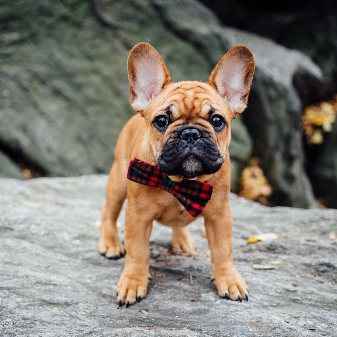 Bevo, the French Bulldog Puppy ️ bulldogs