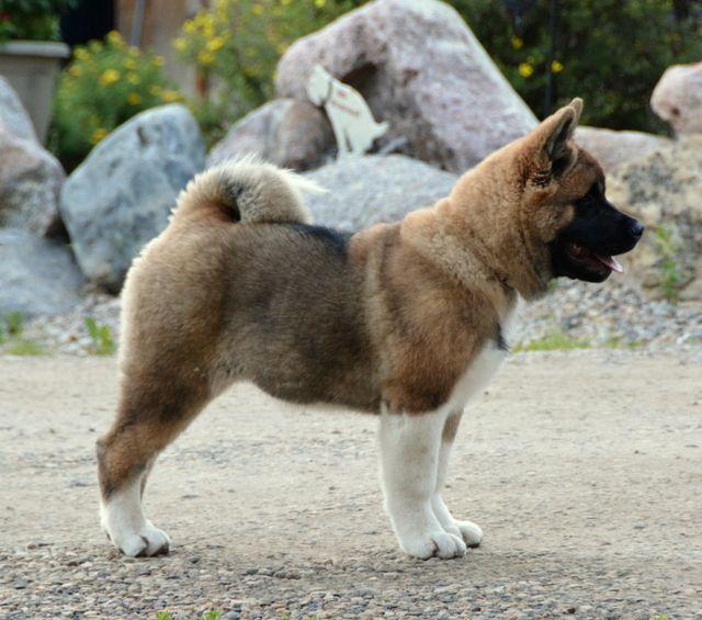 Akita 3 5 Months Akita Dog American Akita Akita