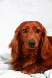 Adopt Mason On Long Haired Dachshund Adoptable Dachshund Dog